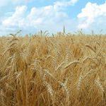 افزایش نرخ خرید تضمینی گندم در سال زراعی جاری